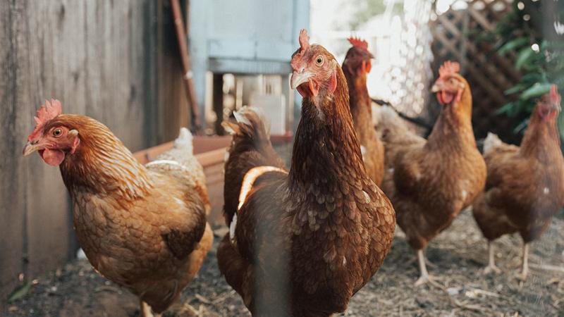 老乡鸡的营销,早就放飞了自我_电商运营课件,电商运营经理人